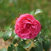 roze20