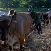 22160928-7785767-Farmers-work-in-a-field-using-oxen-to-plow-the-land-in-Los-Palac-a-44-1576170216510