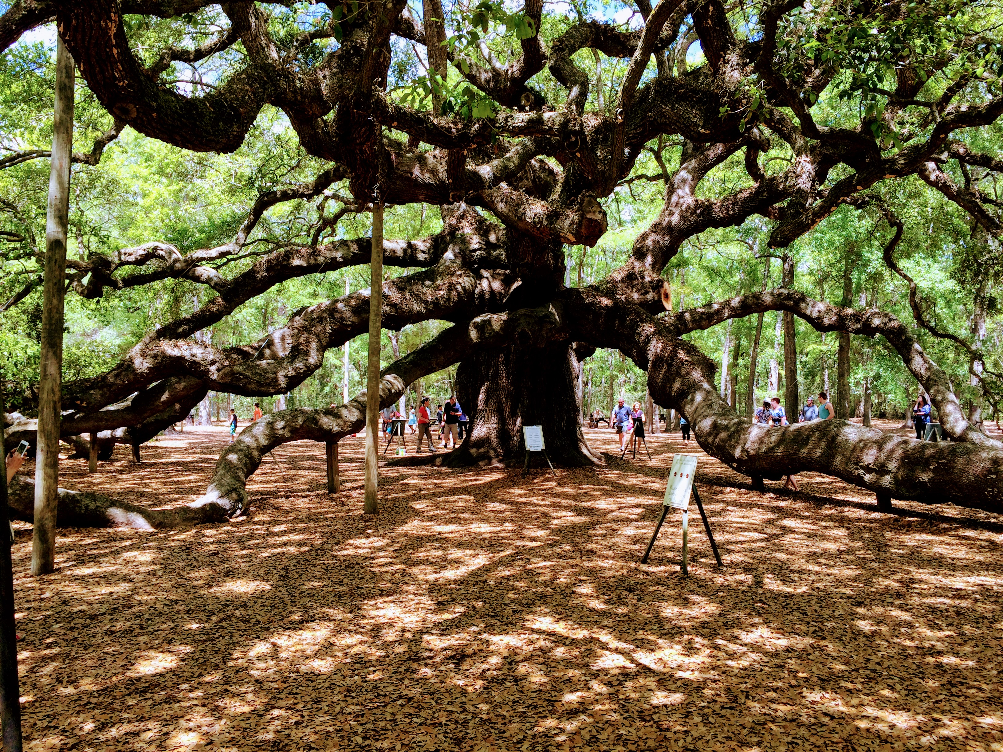 What to know before visiting the Angel Oak Tree in Charleston, South Carolina