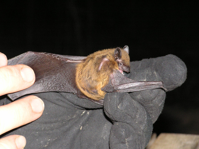Nycticeius-humeralis-Evening-bat