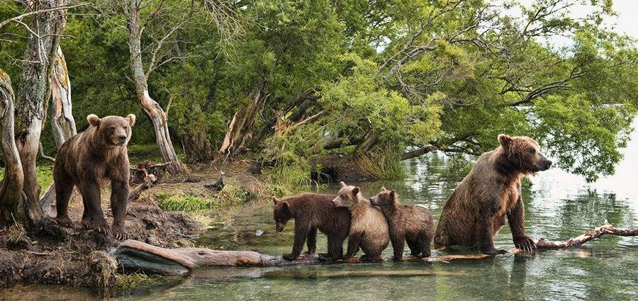 Невероятные фотографии медведей 7