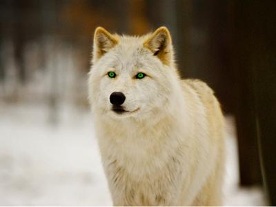 white-wolf-with-green-eyes-by-whiteroses12-d5wf1u7-fullview