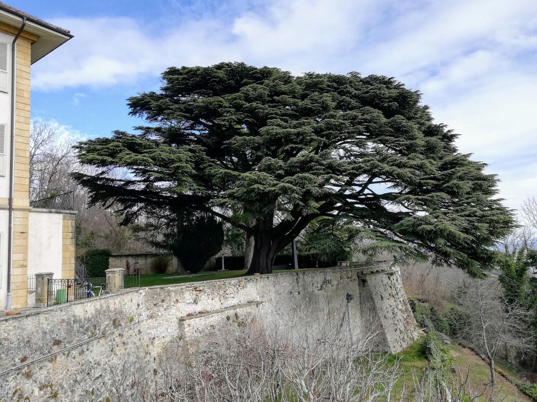 Secular tree in the castle garden