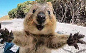 Divertiamoci con gli animali - Pagina 3 Quokka-australia-300x188