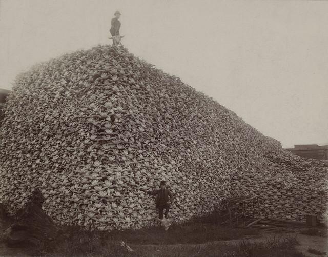 1280px-Bison-skull-pile-edit