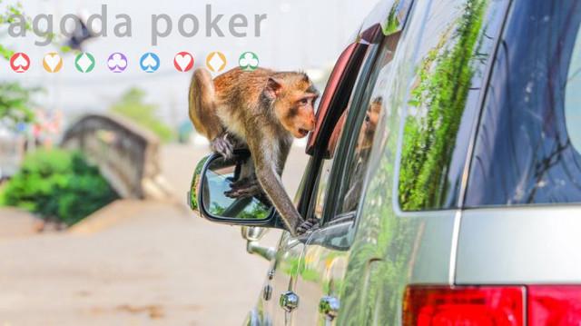 Viral, Monyet Acungkan Jari Tengah saat Ganggu Turis Berfoto di Bali