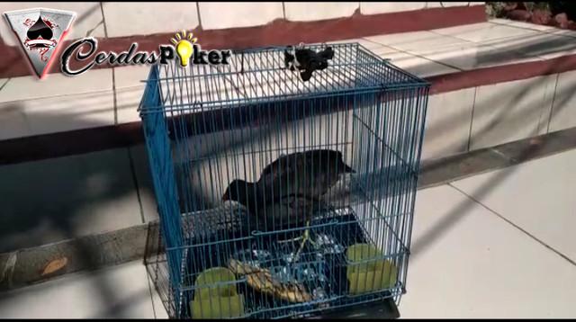 Pria di Bogor Ngaku Kena Hipnotis di Angkot Beli Burung Sawah Sampai Rp4 Juta