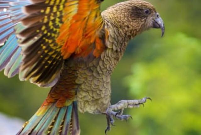 Попугаи кеа