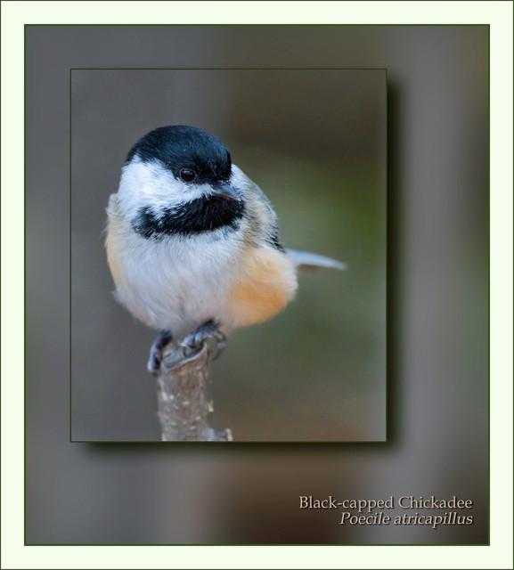 chickadee-PSEM-CAS08013.jpg