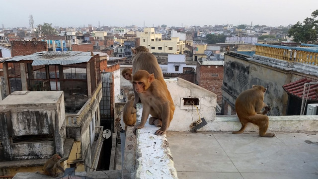 street-zoo-monkey-animals-india-varanasi-1323905-pxhere-com-1536x864