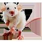 https://i.ibb.co/SctDkry/rat-mouse2.png