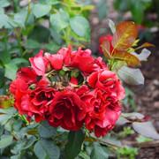 roze44