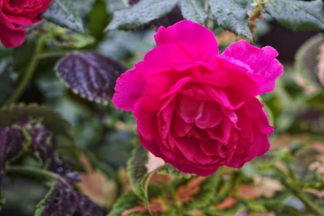 rose sept rain.jpg