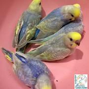 Rainbow muhabbet kuşu yavrularımı...