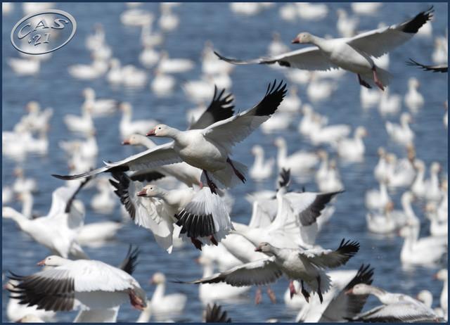 snow-geese-CAS04812