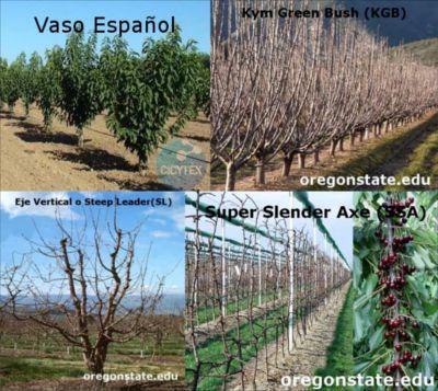Poda del cerezo, cuando y como podar un cerezo, formación del cerezo joven