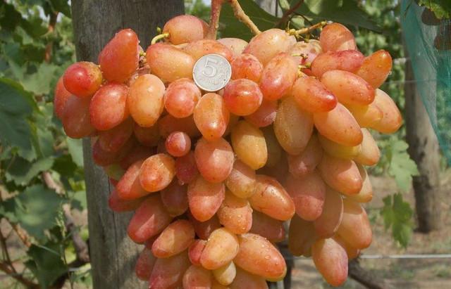 dikson-grozd