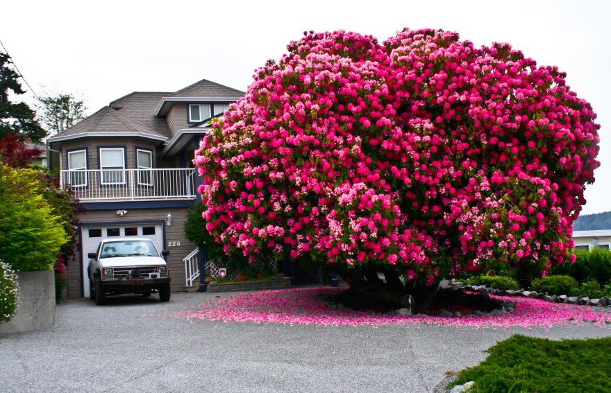 125-летний рододендрон в Канаде-7