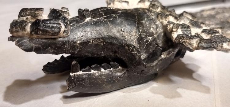 A CUATRO KILÓMETROS DE LA CIUDAD DE SAN PEDRO : Descubren al quirquincho fósil de mayor tamaño del que se tiene registro