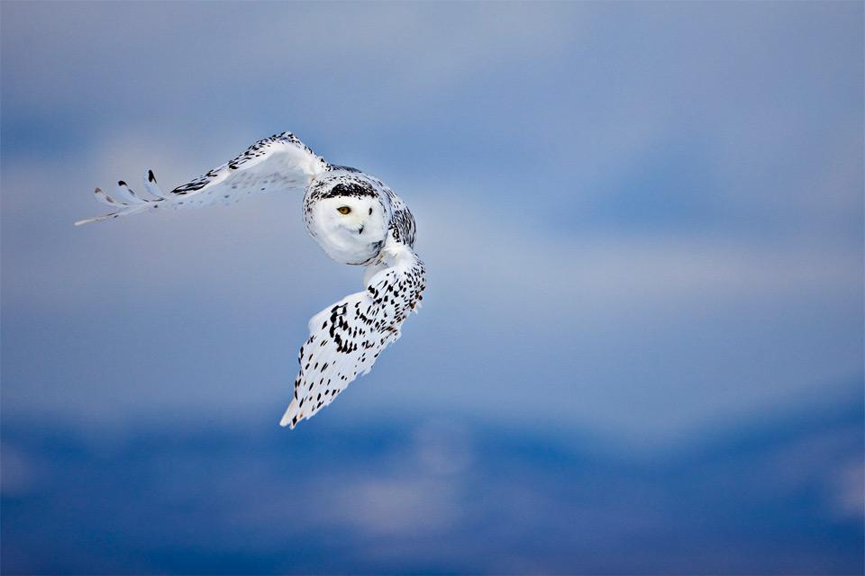 white-owl-in-flight