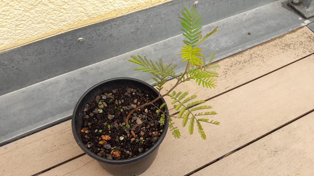 Acacia-klein