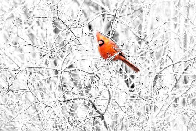 high-key-cardinal