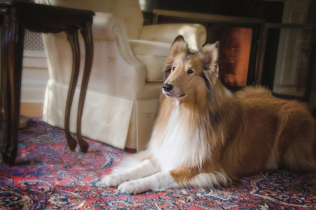 rough-collie-in-a-hygge-rug-home