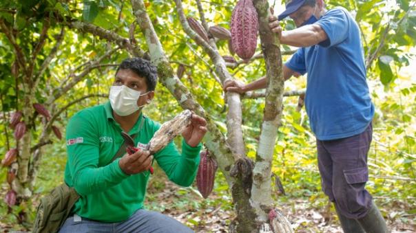 devida-autoriza-transferencia-de-mas-de--13-millones-para-mejorar-cadena-de-valor-de-cacao-tocache
