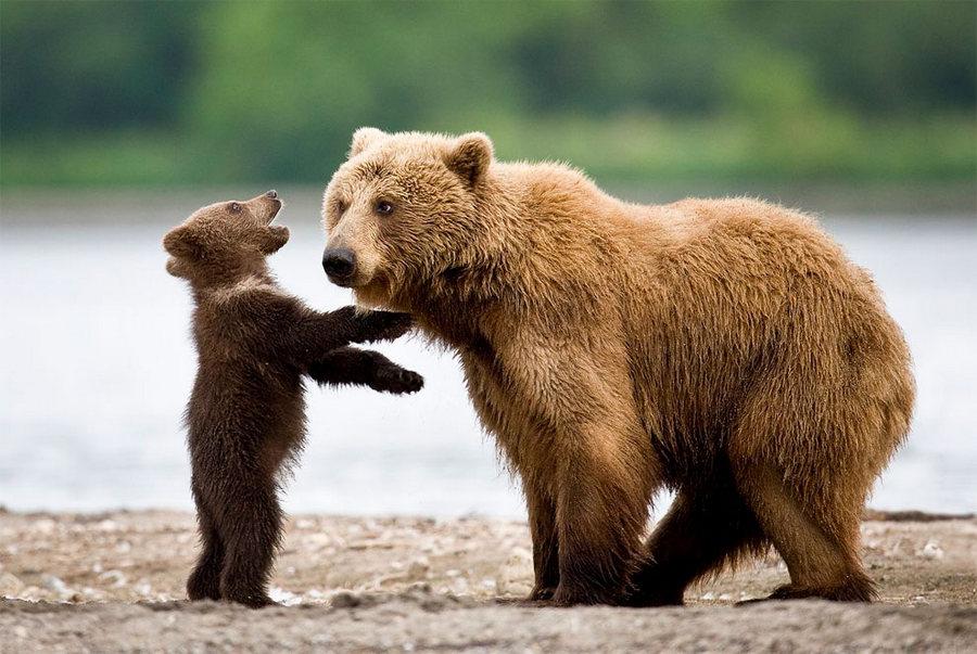 Невероятные фотографии медведей 1