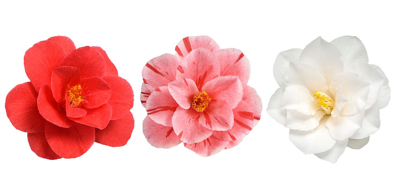 Camellia-flowers