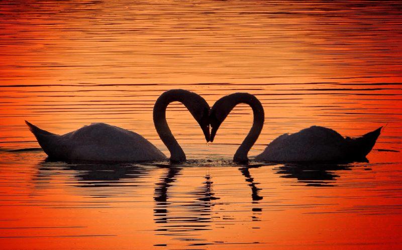 Cisnes e o amor