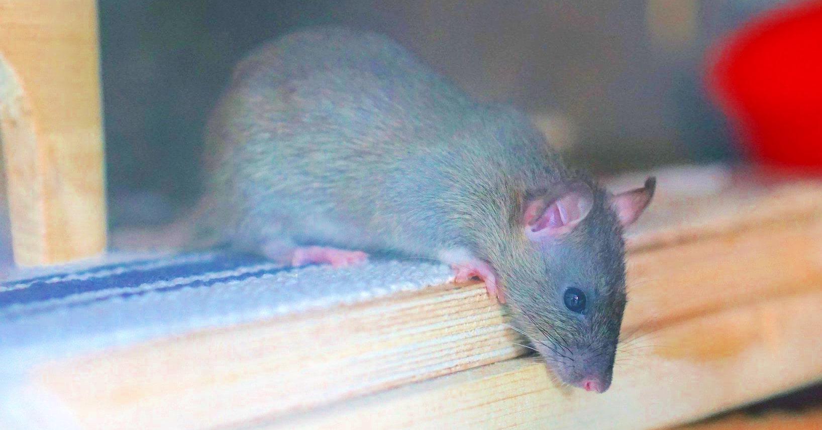 Rat Control Croydon