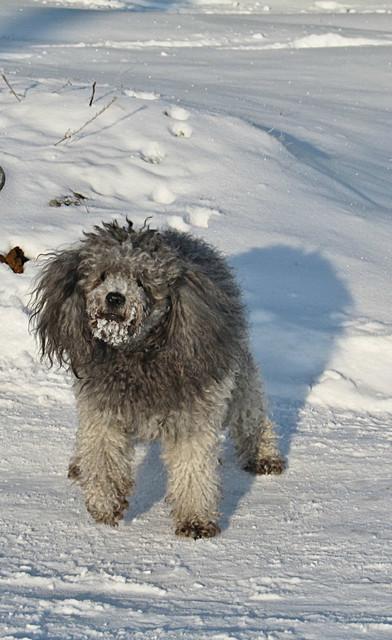 Снежный пёс
