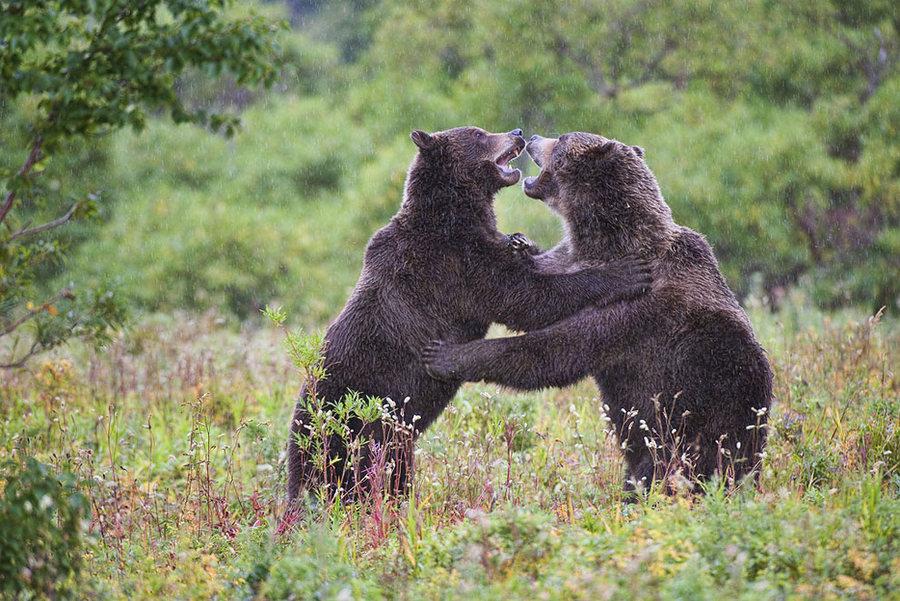 Невероятные фотографии медведей 24