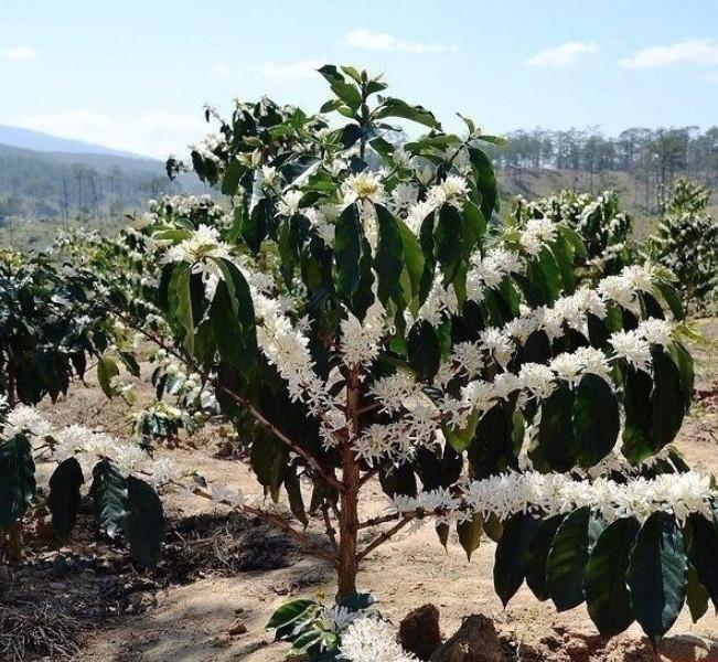 Цветущее дерево кофе