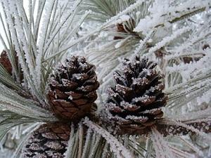 300x225-frosty-pine-cones