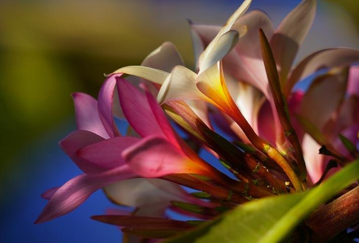 Flores-da-rvore-Hibiscos-FB-1