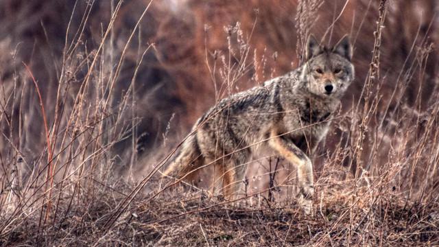 Coyote-4.jpg