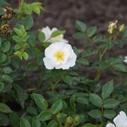 roze36