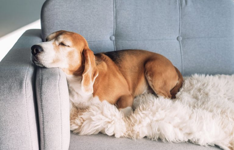 Dog in armchair