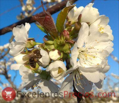 Cerezo en flor fotografía, floración del cerezo, flor de cerezo, imagen cerezo en flor