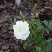 roze4
