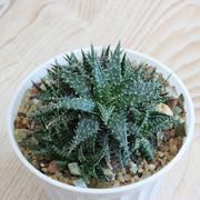 Aloe-descoingsii-x-haworthioides-Plapp-Aloe-cv-Pepe-02
