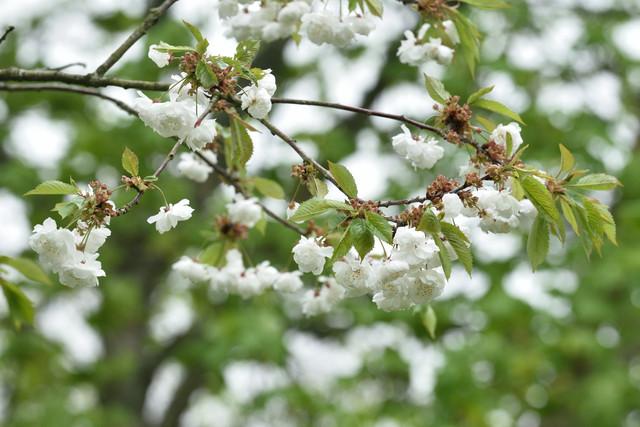 Steril-Prunus-avium-Plena-DSC-6810