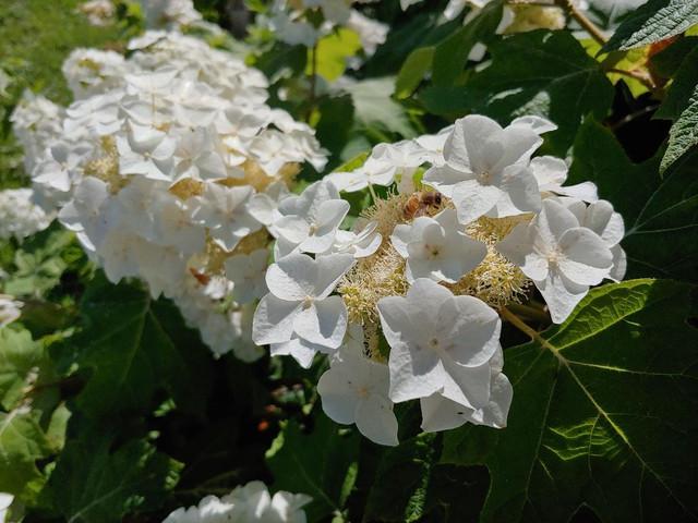 Bee-on-Oakleaf-Hydrangea-6-11-20