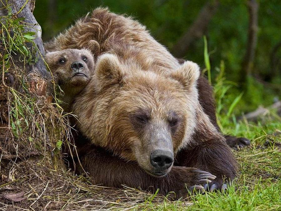 Невероятные фотографии медведей 27