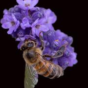 [Image: abeille-sur-fond-noir.jpg]