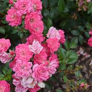 roze48