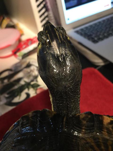 Sexage tortue de Floride Chr