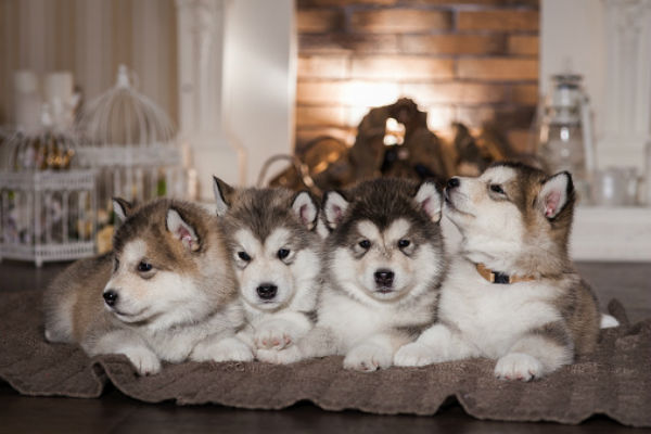 malamute-cute-puppies